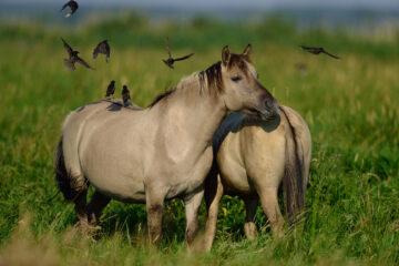 Wild Koniks grazing in the Oder Delta rewilding area.
