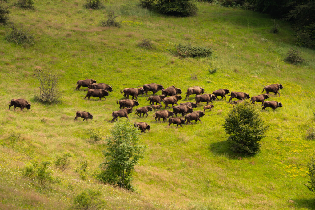 Bisons in the Donau Delta Area